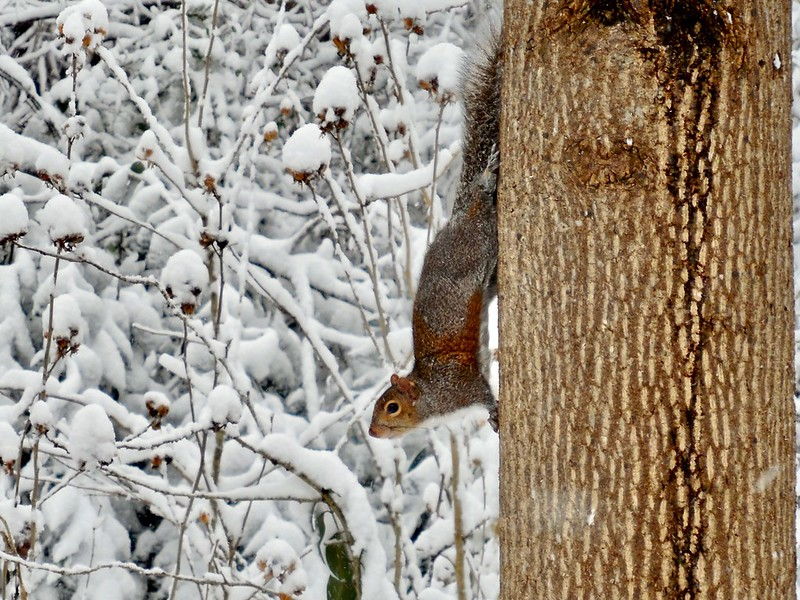 Squirrel on a tree in a Charlotte snow